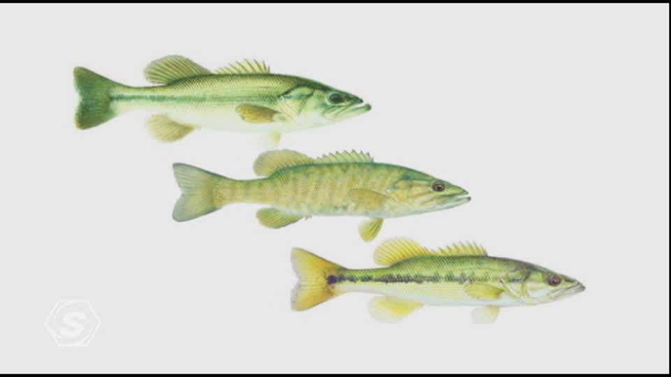 Meet the Bass